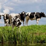 Digital dermatitis in cows